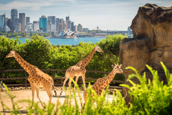 Giraffes,With,Beautul,Sydney,City,At,The,Background,On,A